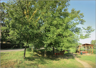 Photo: Corcoduși (Prunus cerasifera) - din zona Str. Constructorilor, dig Mr.3 - 2017.07.23