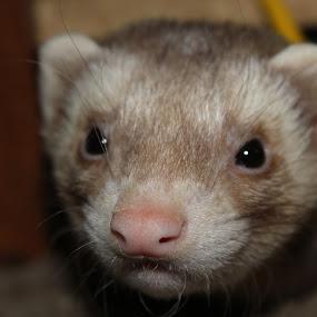 Azzazel by Matthew Donathan - Animals Other Mammals ( rebel, cutie, virginia, pet, canon,  )