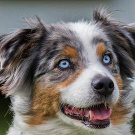 Blue Eyes by Robert George - Animals - Dogs Portraits