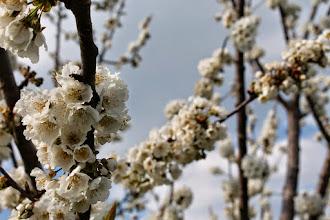 Photo: Non solo gemme, anche fiori a Le Velette!