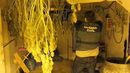 La Guardia Civil localiza un gran cultivo de marihuana en Benahadux.