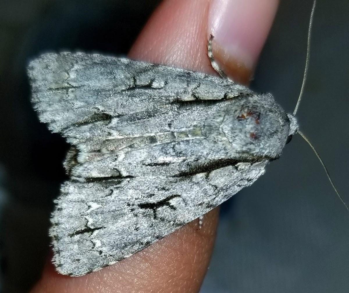 Great Oak dagger moth