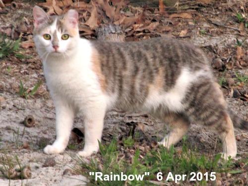Rainbow - feral, spayed farm cat