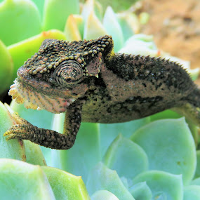 animal on a plant by Geraldine Angove - Animals Reptiles (  )