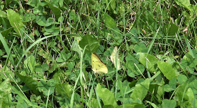 Photo: two moths in clover