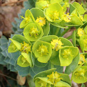 Creeping spurge