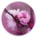 Cherry Blossom Wallpapers icon