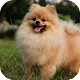 Download Pomeranian Wallpaper HD for PC