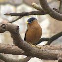 Brahminy starling or myna