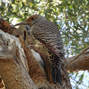 Red-shafted Northern Flicker - female