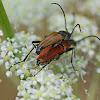 Blood-red Longhorn Beetle