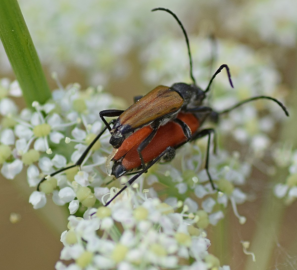 Blood-red Longhorn Beetle