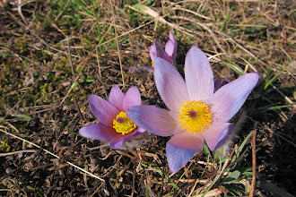 Photo: Pasque flowers in Brno's nature reserve.
