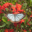 Indian Wanderer Butterfly (male)