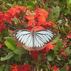 Indian Wanderer Butterfly (male)