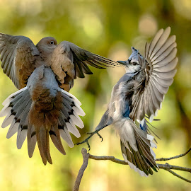 Mouning Dove vs Blue Jay by Carl Albro - Animals Birds ( dove, blue jay, fighting, birds, wildlife )