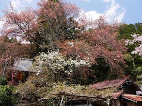こちらの桜は葉桜に・・・