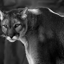 Mountain Lion Glow by Shawn Thomas - Black & White Animals