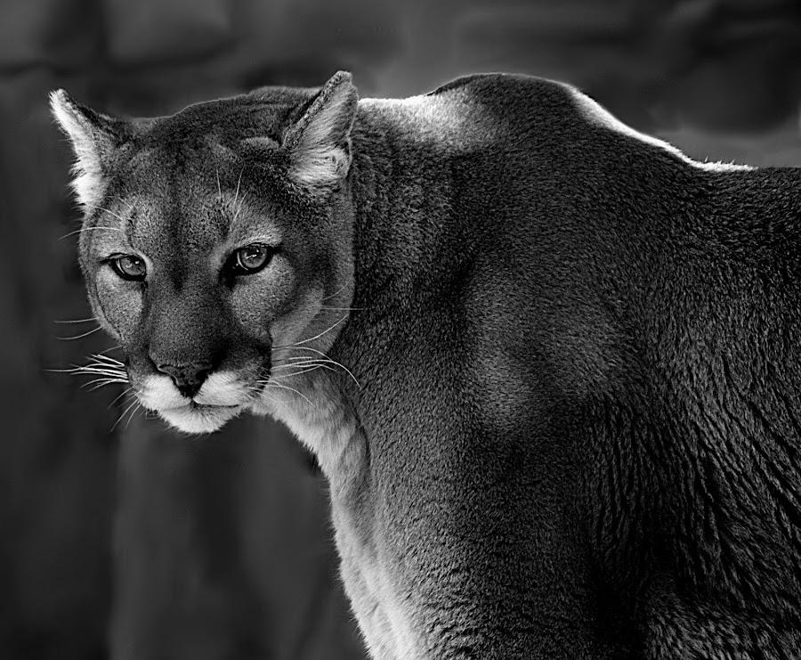 Mountain Lion Glow by Shawn Thomas - Black & White Animals (  )