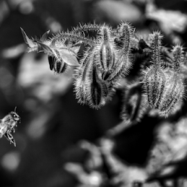 In flight  by Todd Reynolds - Black & White Flowers & Plants