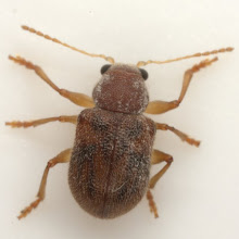 Photo: Xanthonia n. sp., Det. E. G. Riley 2009, (Chrysomelidae: Eumolpinae: Adoxini)