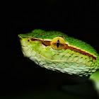 Keeled pit viper