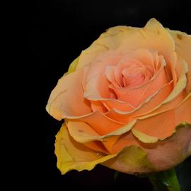 beautyful orange rose by LADOCKi Elvira - Flowers Single Flower ( nature, plants, garden, rose, flower )