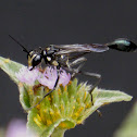 Thread-waisted Wasp ♂