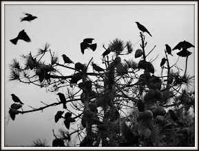 Photo: Blackbirds having a conference, Cesar Chavez Park, Berkeley