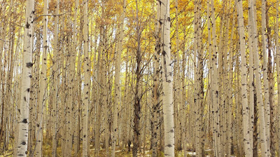 Photo: Dense, old-growth, beautiful aspen stands.