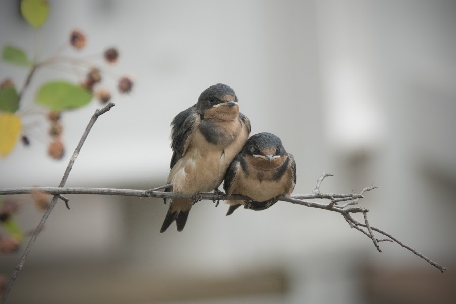 Barn Swallow Fledglings by Jack Nevitt - Animals Birds ( barn swallow, environment, outdoors, fledglings, bird, babies, cute, pair, avian )