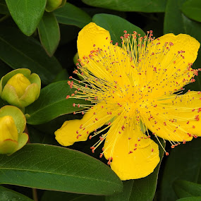 St Johns Wort by Carol Leynard - Flowers Single Flower ( long stamen, st johns wort, hypericum., plant, yellow flower,  )
