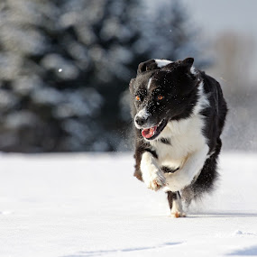 snow bo(a)rder by Mathias Ahrens - Animals - Dogs Running ( australian shepherd )