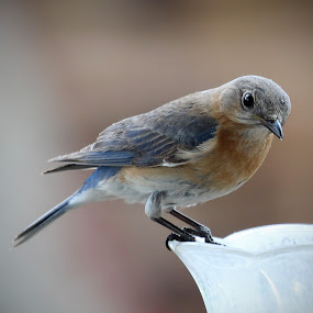 Mom Bluebird by April Nowling - Animals Birds ( bird, bluebird, blue bird, spring, eastern bluebird,  )