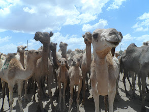 Photo: Camel market, with attitude.