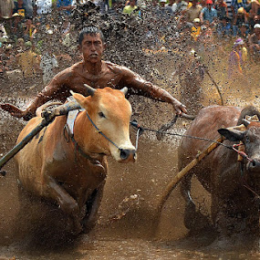 Come on, hurry...!!! by Achmad Tibyani - Sports & Fitness Rodeo/Bull Riding ( bull race, tanah datar, traditional sport, indonesia, batu sangkar, pacu jawi )