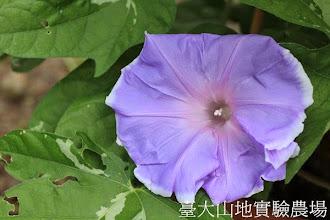 Photo: 拍攝地點: 春陽-可愛植物區 拍攝植物: 日本朝顏 藤娘 拍攝日期:2013_07_24_FY