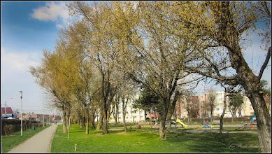 Photo: Arțar, Paltin de munte - (Acer pseudoplatanus) - din Parcul din Mr.1 - 2017.03.24