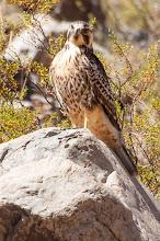 Photo: Red-backed Hawk (Rotrückenbussard); Valle Calchaquí, ARG