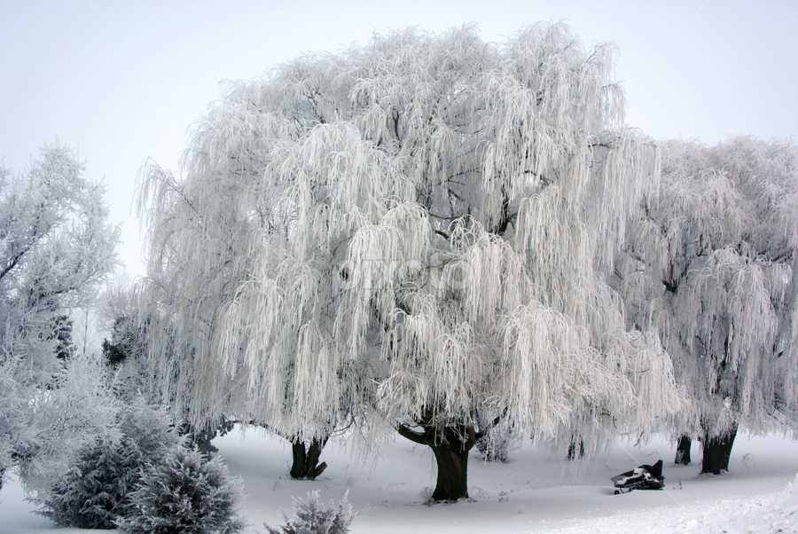 Winter's Frosted Willow by Tina Hailey - Landscapes Weather ( willows, winter, fog, snow, trees, , white, quality, detail, landscapes, cold )