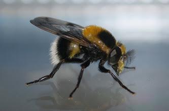 Photo: Volucella bombylans plumata    Diptera  > Syrphidae