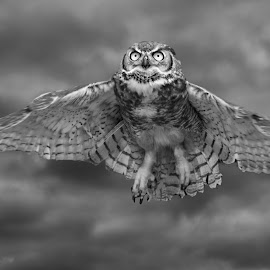 Cleared for takeoff! by Sandy Scott - Black & White Animals ( clouds, animals, b&w, fowl, avian, black & white, wildlife, birds, skies, great horned owl, predators, eyes, birds of prey, nature, wings, dramatic, owl, raptor,  )