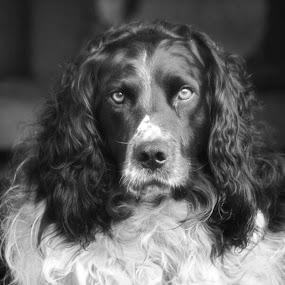 Casper  by Helen Quirke  - Animals - Dogs Portraits ( pet portrait, monochrome, black and white, pet, family, dog,  )