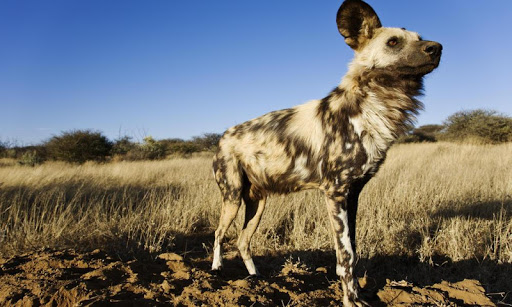 African Wild Dog Wallpaper