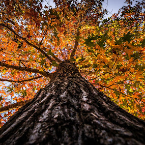 Tall Maple by Carole Pallier  - Nature Up Close Trees & Bushes ( mapletree, leaves, seasonal, golden, autumn, branches, park )