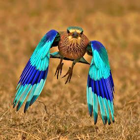 INDIAN ROLLER by Subramanniyan Mani - Animals Birds ( flight, nature, action, wildlife, birds, indian roller )