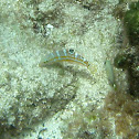 Puddingwife (juvenile)