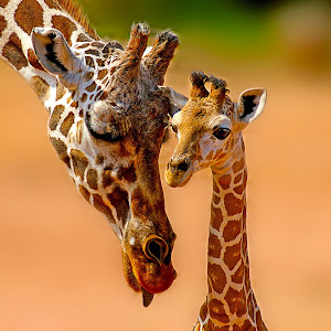 giraffefamily.jpg