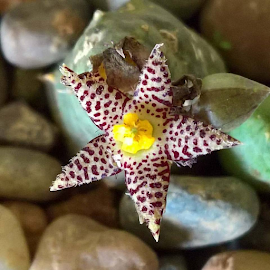 Succulent flower by Zerene Lotter Eloff - Nature Up Close Other plants ( spots, succulent, star shaped, maroon, yellow, rocks, flower )