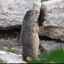 Groundhog, Woodchuck